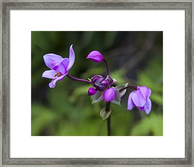 Philippine Ground Orchid Framed Print