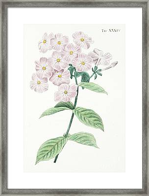 Phlox Acuminata Framed Print