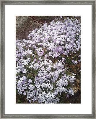 Phlox Blue Lilac Framed Print