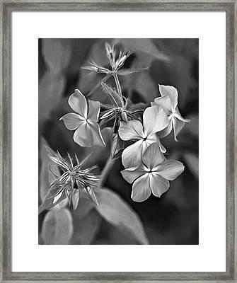 Phlox Divaricata Bw Framed Print by Steve Harrington
