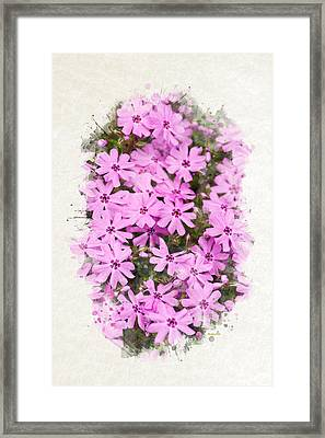 Phlox Flowers Watercolor Art Framed Print by Christina Rollo