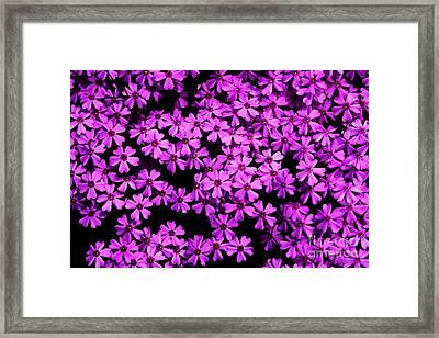 Phlox Ground Cover Framed Print