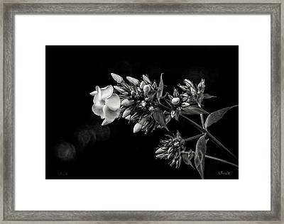 Phlox In Black And White Framed Print