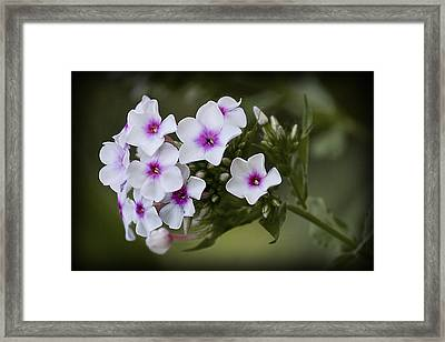 Phlox Framed Print