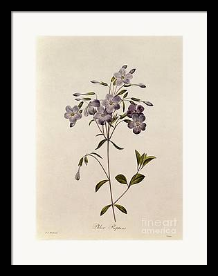 Phlox Drawings Framed Prints