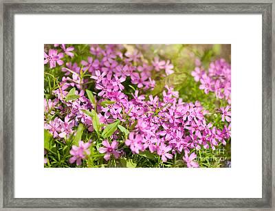Phlox Subulata Pink Flowering Plant Framed Print by Arletta Cwalina