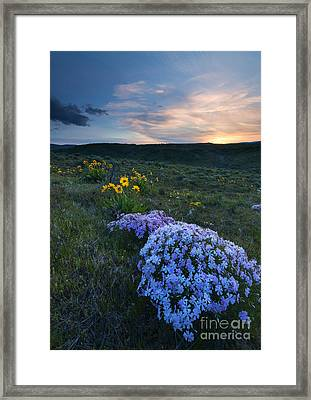 Phlox Sunset Framed Print