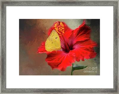 Phoebis Philea On A Hibiscus Framed Print