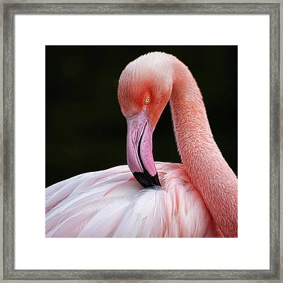 Phoenicopterus Framed Print by QuimGranell