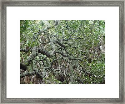 Photo Live Oak Fort Desoto Florida Framed Print by Ray  Petersen