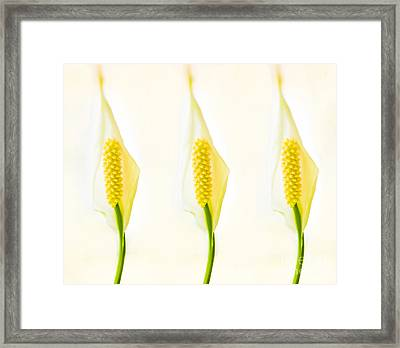 3 Tropical Ladies Called White Anthuriums Framed Print by MaryJane Armstrong
