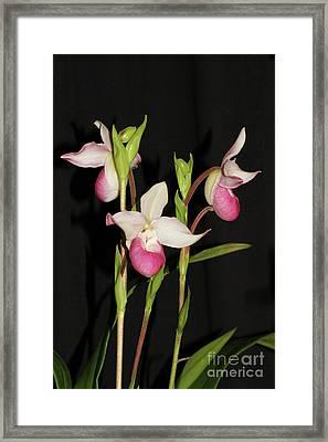 Phragmipedium Cardinale Wacousta Orchid Framed Print