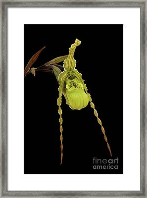 Phragmipedium Richteri Orchid Framed Print