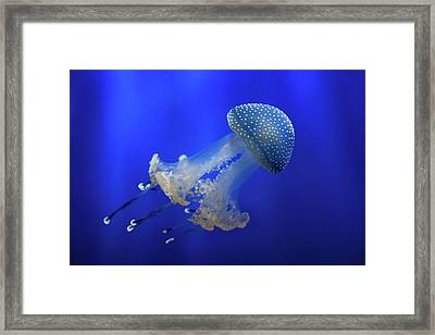 Phyllorhiza Punctata Framed Print by Giovanni Allievi