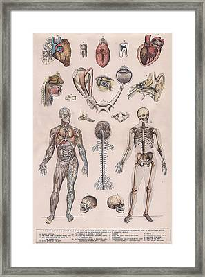 Physiology, Diagrams Of The Human Body Framed Print by Victorian Engraver