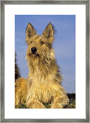 Picardy Shepherd Dog Framed Print by Gerard Lacz