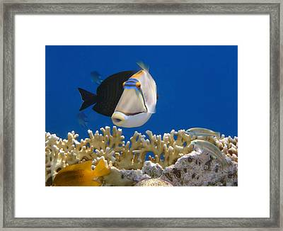Picasso Fish And Klunzingerwrasse Framed Print