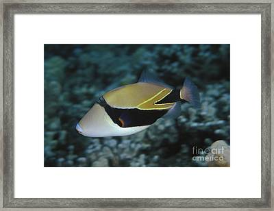 Picasso Triggerfish Framed Print by Dave Fleetham - Printscapes