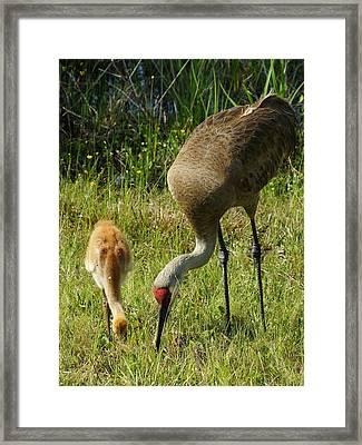 Pick Peck Framed Print by Lynda Dawson-Youngclaus