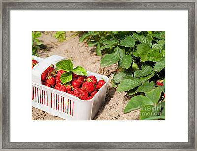 Picked Ripe Strawberries Bunch Framed Print by Arletta Cwalina