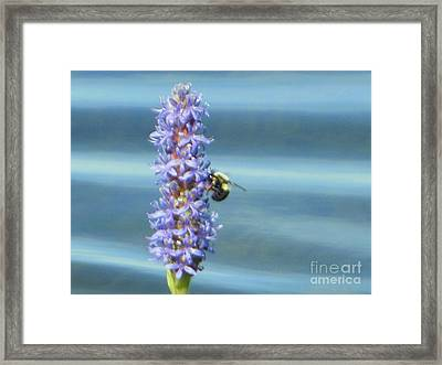 Pickerelweed Bumble Bee Framed Print