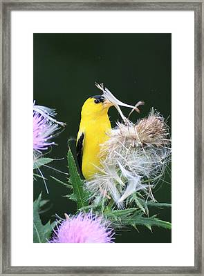 Picking Seeds Framed Print