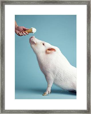 Pickle The Pig IIi Framed Print by Eli Warren