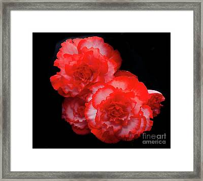 Picotee Begonia Framed Print