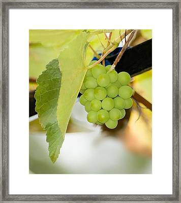 Picture Of Ripe White Grape Framed Print by Lanjee Chee