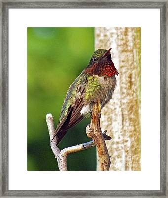 Picture Perfect - Ruby-throated Hummingbird Framed Print by Cindy Treger