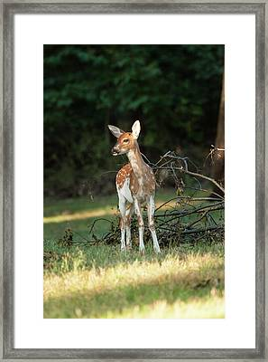 Piebald Whitetail Deer Fawn Framed Print by Erin Cadigan