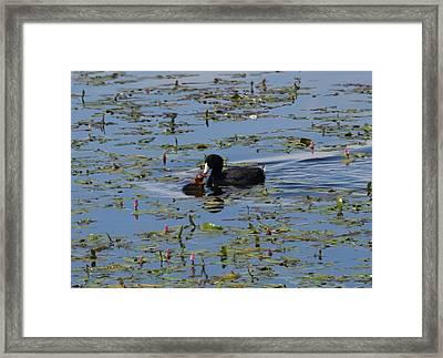 Pied Billed Grebe Lake John Swa Co Framed Print