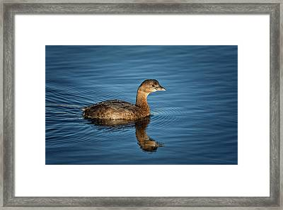 Framed Print featuring the photograph Pied Billed Grebe by Randy Hall