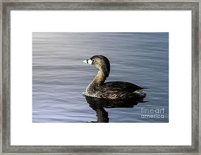 Framed Print featuring the photograph Pied-billed Grebe by Robert Frederick