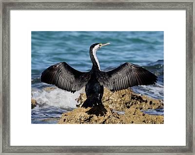 Pied Cormorant Framed Print