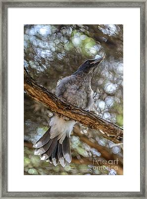 Pied Currawong Chick 1 Framed Print