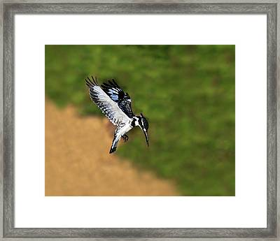 Pied Kingfisher Framed Print by Tony Beck