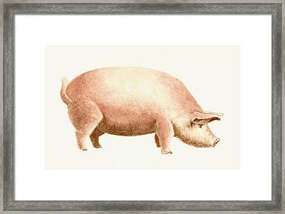 Pig Framed Print by Michael Vigliotti