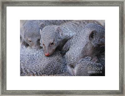 Pig Pile Of Sleepy Dwarf Mongooses Framed Print