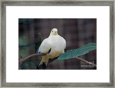 White Pigeon Framed Print by Donna Brown