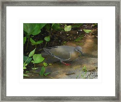 Framed Print featuring the photograph Pigeon by Felipe Adan Lerma