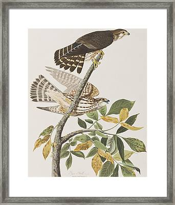 Pigeon Hawk Framed Print by John James Audubon