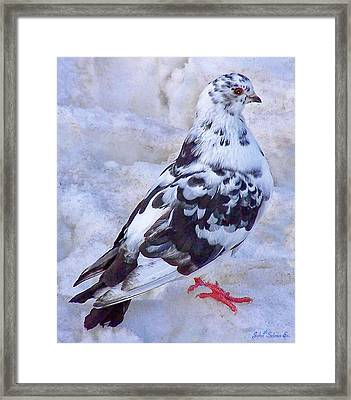 Pigeon On Ice  1 Framed Print by John Selmer Sr