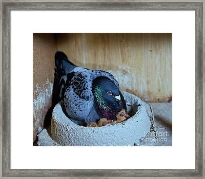 Pigeon With Chicks Framed Print by Gerhard Schlepphorst