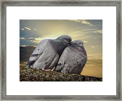 Pigeons In Love, Smooching On A Branch At Sunset Framed Print
