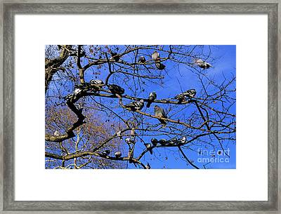 Pigeons Perching In A Tree Together Framed Print by Sami Sarkis