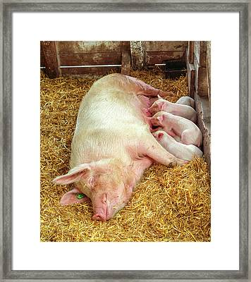 Piglet Feeding Time Framed Print