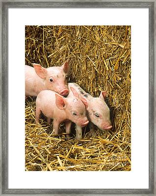 Piglets Framed Print by Science Source