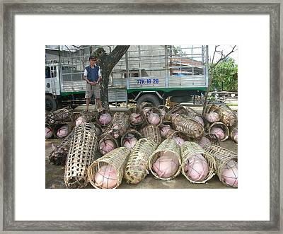 Pigs Delivery Framed Print