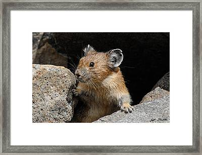 Pika Looking Out From Its Burrow Framed Print